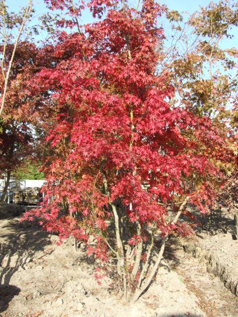 見事な紅葉のイロハモミジ