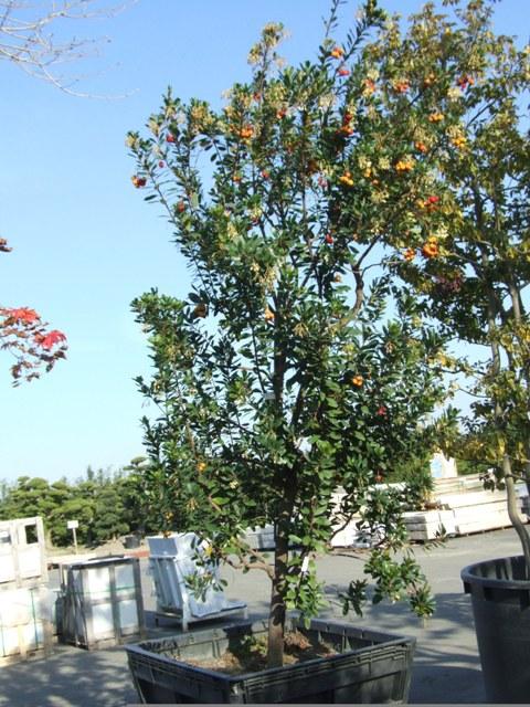 色鮮やかな果実をたわわに実らせたヒメイチゴの木