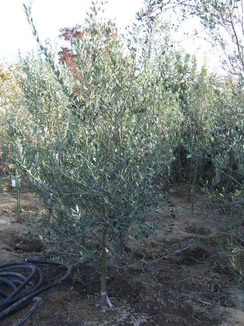 淡い緑のオリーブの木