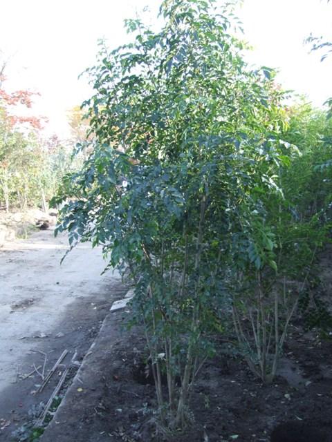 柔らかな樹形のシマトネリコ